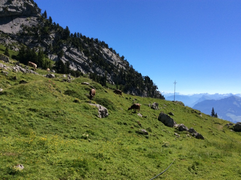 Swiss cows on the way down from Mt. Pilatus