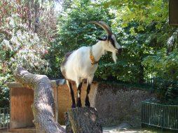 Goat at Basel Zoo