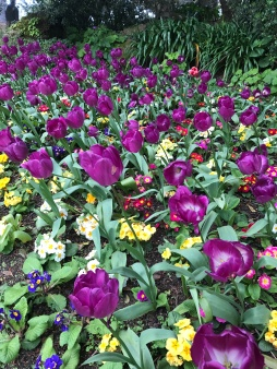 Tulip Garden at Golden Gate Park