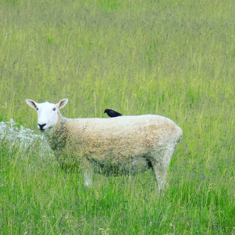 sheep with bird, door county